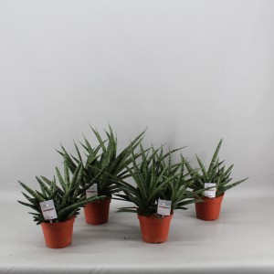Sansevieria SANSIAM MIX