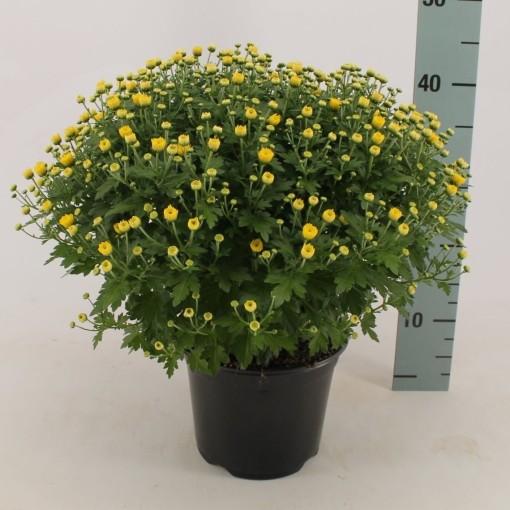 Chrysanthemum 'Jasoda Dark Yellow' (Bas van der Wilt)