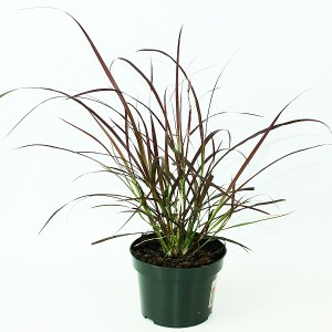 Pennisetum advena 'Rubrum' (Experts in Green)