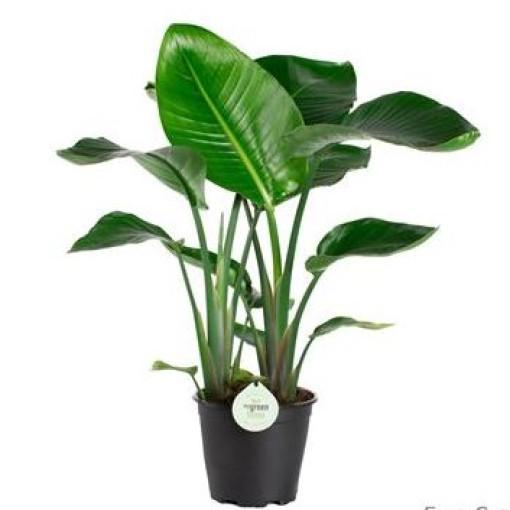 Strelitzia nicolai (Gasa DK)