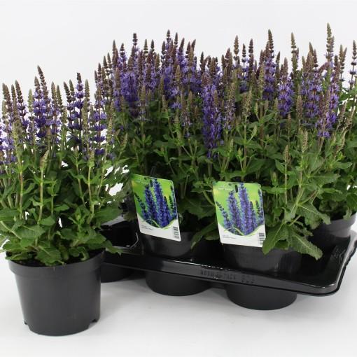 Salvia nemorosa SENSATION DEEP BLUE (Kwekerij Baas)