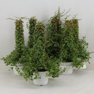 Ficus pumila 'White Sunny' (Amstelzicht BV)