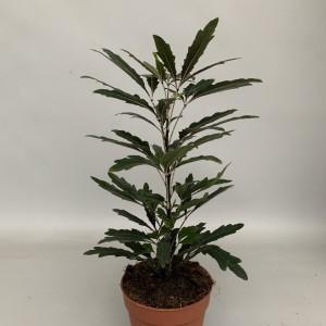 Schefflera elegantissima 'Castor' (Handelskwekerij van der Velden)