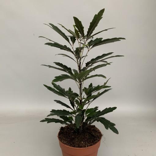 Schefflera elegantissima 'Castor' (Hkw. van der Velden)