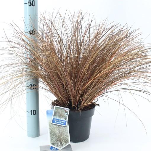 Carex comans 'Bronze Form' (About Plants Zundert BV)