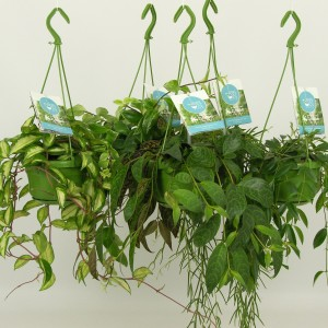 Hanging plants MIX