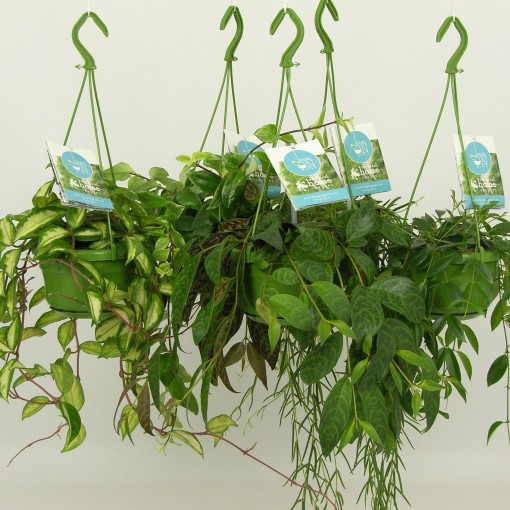 Hanging plants MIX (Elstgeest)