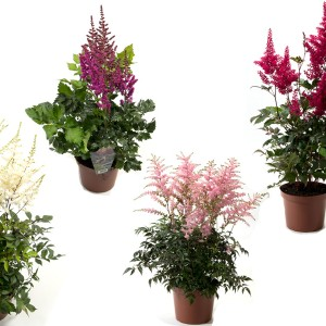 Astilbe ARENDSII MIX