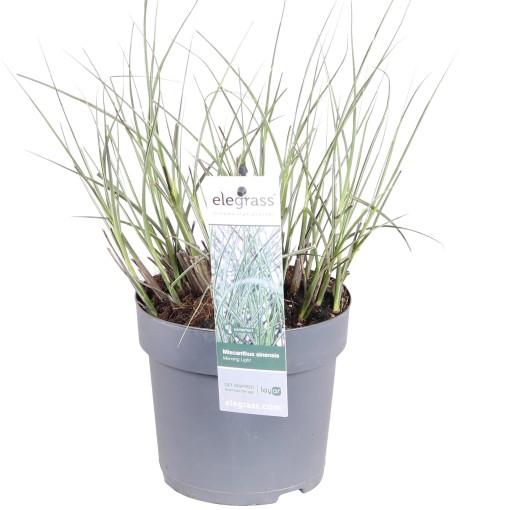 Miscanthus sinensis 'Morning Light' (Hoogeveen Plants)