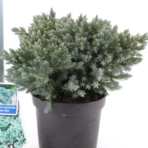 Juniperus squamata 'Blue Star' (About Plants Zundert BV)