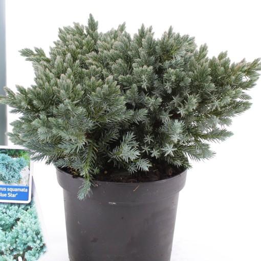 Juniperus squamata 'Blue Star' (About Plants Zundert BV)