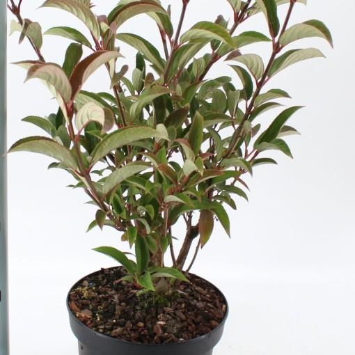 Viburnum x hillieri 'Winton' (About Plants Zundert BV)