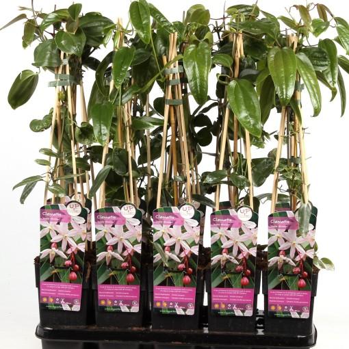 Clematis 'Apple Blossom' (Hoogeveen Plants)