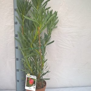 Protea 'Venus'