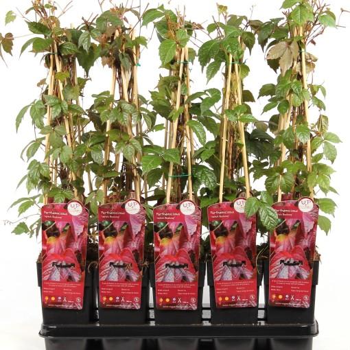 Parthenocissus tricuspidata 'Veitchii' (Hoogeveen Plants)