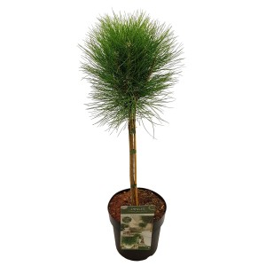 Pinus 'Summer Breeze'