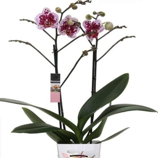 Phalaenopsis REMBRANDT CX322 (Ter Laak Orchids Multiflora)