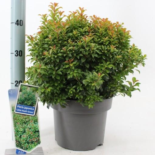 Pieris japonica 'Little Heath Green' (About Plants Zundert BV)