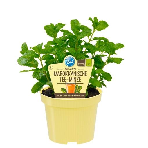 Mentha spicata 'Crispa' (Experts in Green)