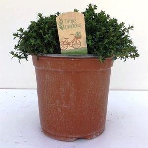 Thymus x citriodorus