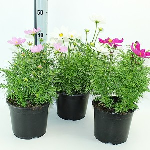 Cosmos bipinnatus MIX (Experts in Green)