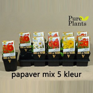 Papaver nudicaule MIX (Kwekerij den Deyl)