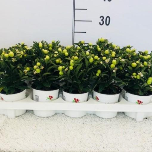 Solanum pseudocapsicum 'Supreme' (Experts in Green)