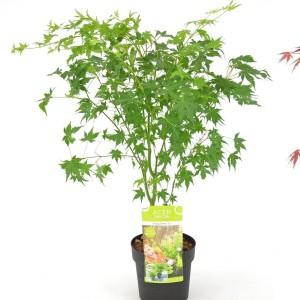 Acer palmatum MIX