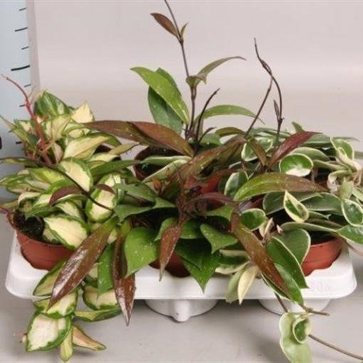Hoya carnosa MIX (Hkw. van der Velden)