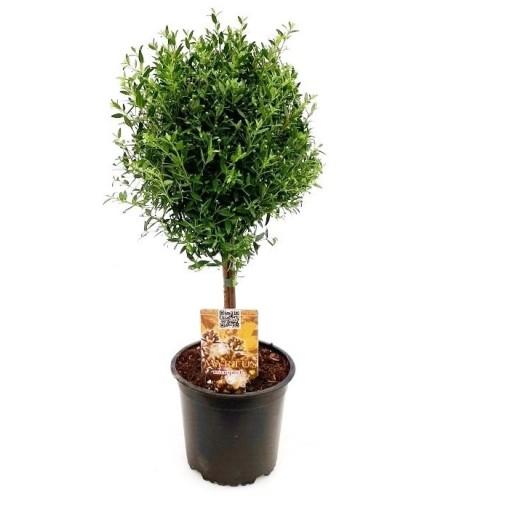 Myrtus communis (RM Plants)