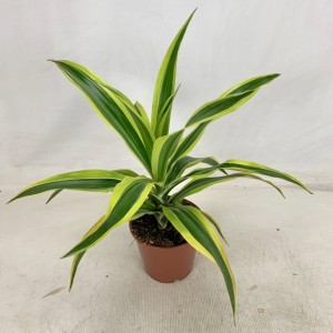 Dracaena fragrans 'Lemon Lime'