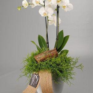 Arrangements Phalaenopsis 'PHAL-1706' (Mixt Creation BV)