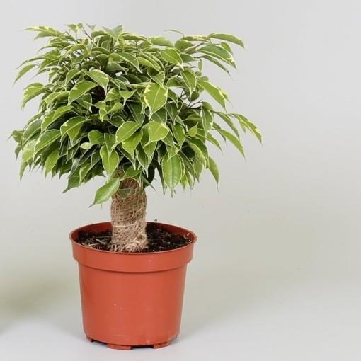 Ficus benjamina KINKY (Groot BV, Kwekerij J. de )