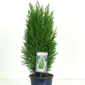 Chamaecyparis lawsoniana 'Ellwoodii' (Kwekerij Vredebest)
