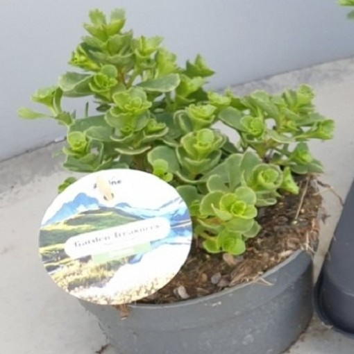 Sedum spurium 'Coccineum' (Leeuw-den Engelsen)