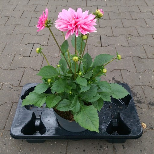 Dahlia DALINA MIX (Experts in Green)