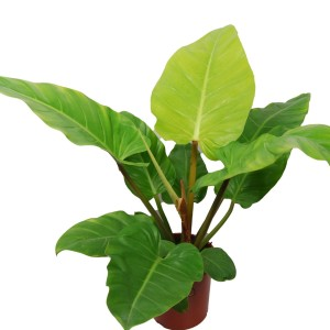 Philodendron melinonii 'Ghost'