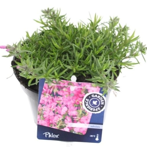 Phlox FABULOUS ROSE (Noordpoel, Kwekerij de)