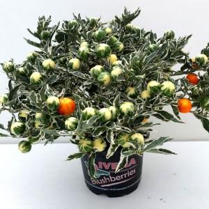 Solanum pseudocapsicum 'Roja'