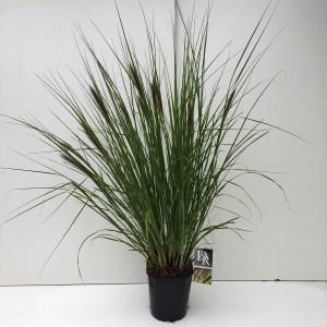 Pennisetum alopecuroides viridescens