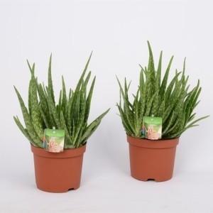 Aloe vera (Bunnik Plants)