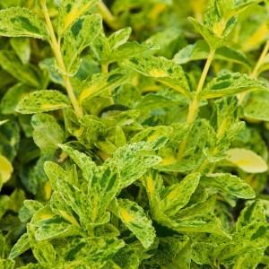 Euonymus fortunei GOLDEN HARLEQUIN (About Plants Zundert BV)