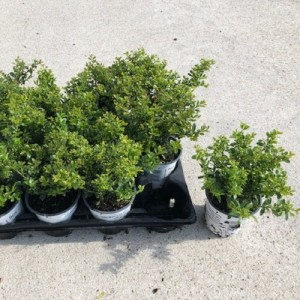 Ilex crenata 'Stokes' (Experts in Green)