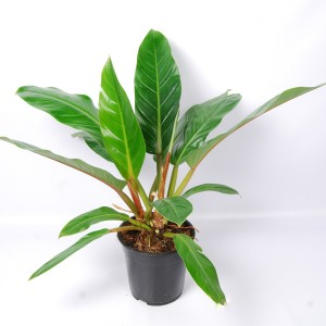 Philodendron 'Fatboy Yellow'