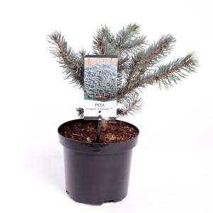 Picea pungens 'Karpaten'