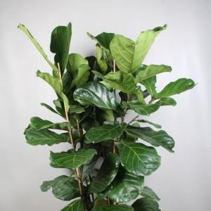 Ficus lyrata (Vireõ Plant Sales)
