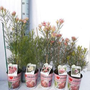 Serruria MIX (Flora Toscana)