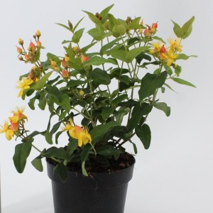 Hypericum x inodorum MAGICAL INNOCENCE (About Plants Zundert BV)