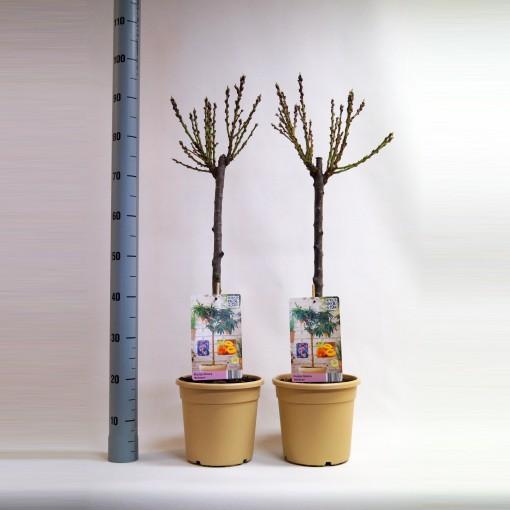 Prunus persica 'Bonanza' (BOGREEN Outdoor Plants)