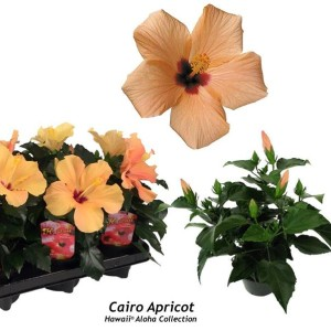 Hibiscus rosa-sinensis 'Cairo Apricot'